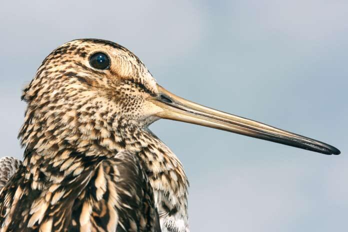 Çizgili Yelve kuşunun özellikleri neler? Çizgili Yelve kuşunun yaşadığı ülkeler
