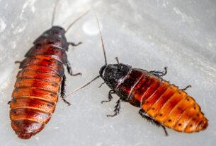 Hamam Böceği Nasıl Yok Edilir? Evdeki Hamam Böcekleri Nasıl Gider?